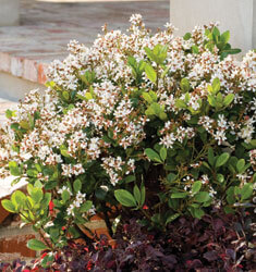 southern_living_plants_indian_hawthorne_spring_sonata