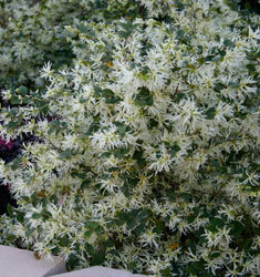 southern_living_plants_loropetalum_emerald_snow