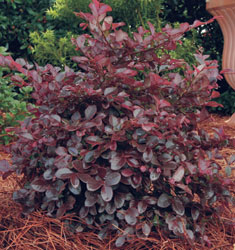 southern_living_plants_loropetalum_purple_diamond