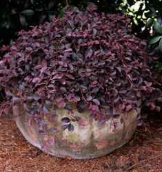 southern_living_plants_loropetalum_purple_pixie