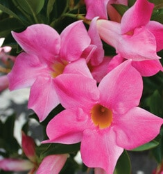 southern_living_plants_mandevilla_vogue_vivian