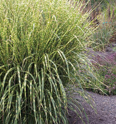 miscanthus gold breeze