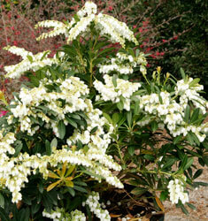 pieris mountain snow