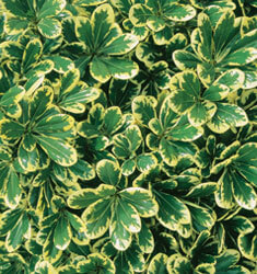 southern_living_plants_pittosporum_mojo