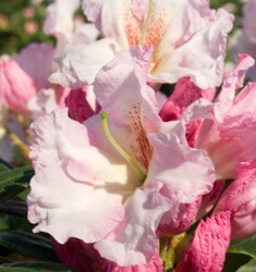 southern_living_plants_rhododendron_southgate_breezy