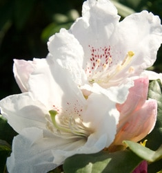 rhododendron southgate divine