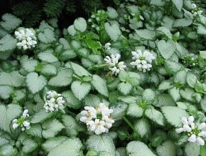 deadnettle white nancy