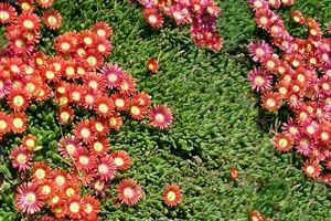 iceplant red mountain