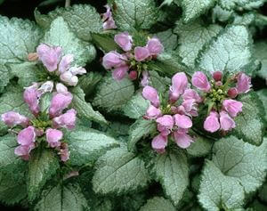 deadnettle beacon silver