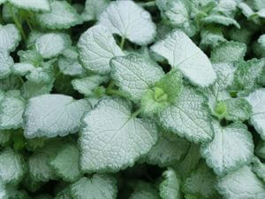 deadnettle red nancy