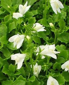 mazus-reptans-albus-45-pot10-count-flat-current-status-ltd-gc_300