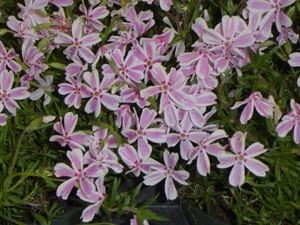 phlox-subulata-candy-stripe-45pot10-count-flat-current-status-na_300