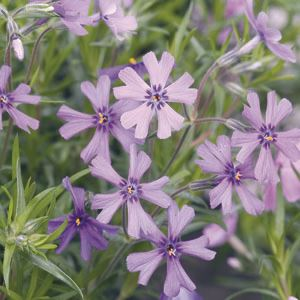 phlox-subulata-purple-beauty-45pot10-count-flat-current-status-na_300
