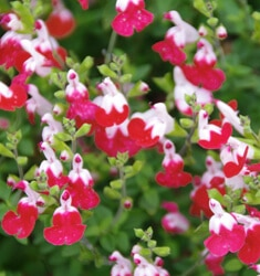 salvia little kiss