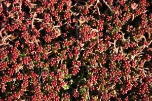 sedum-album-coral-carpet-45pot10-count-flat-current-status-xltd-gc_300