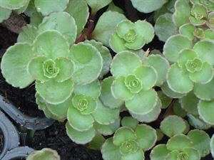 dragons blood stonecrop