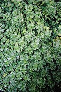 john creech stonecrop