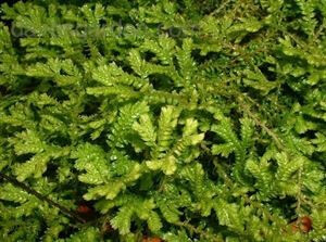 gold clubmoss