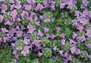 thymus-serpyllum-elfin-45pot10-count-flat-current-status-na_300
