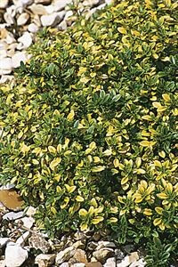 thymus-x-citriodorus-archers-gold-thyme-45pot10-count-flat-current-status-na_300