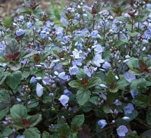 veronica-surculosa-waterperry-blue-45pot10-count-flat-current-status-na_300