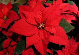 Keeping Poinsettias Fresh After the Holidays