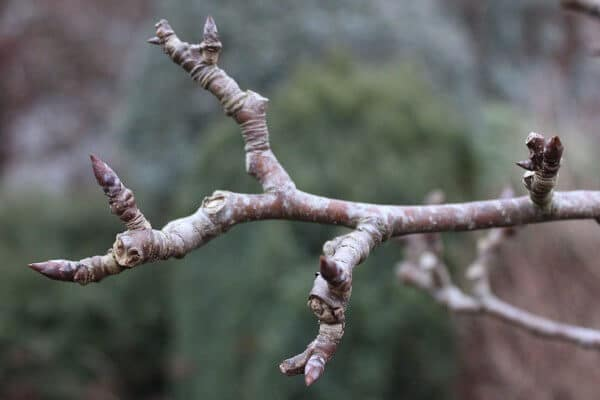 Horticulture Oil Spray – Important for Fruit Trees