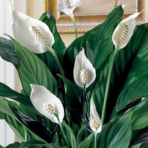 Peace Lily 7