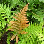 autumn-fern-frond