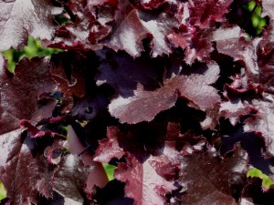Heuchera_Black_Beauty