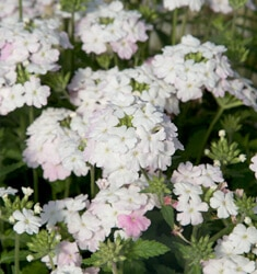 Verbena_White_Blush