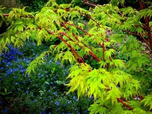 coral-japanese-maple-3