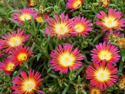 delosperma wheels of wonder hot pink