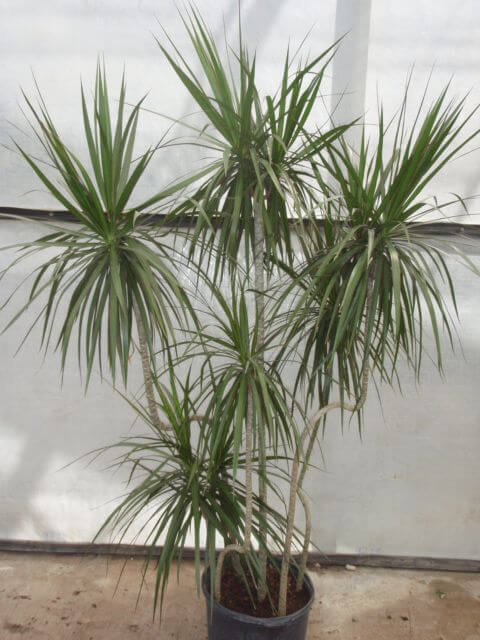 Dracaena Marginata Madagascar Dragon Tree   Our House
