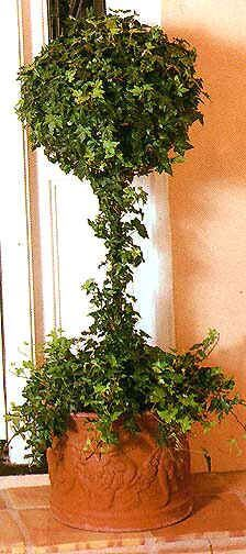 even though ivy is commonly grown as a hanging plant indoors it can also be trained around a trellis or topiary to create an interesting focal point for a