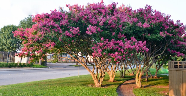 How To Choose The Perfect Crape Myrtle