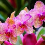 Orchid-Chinese-Flowers