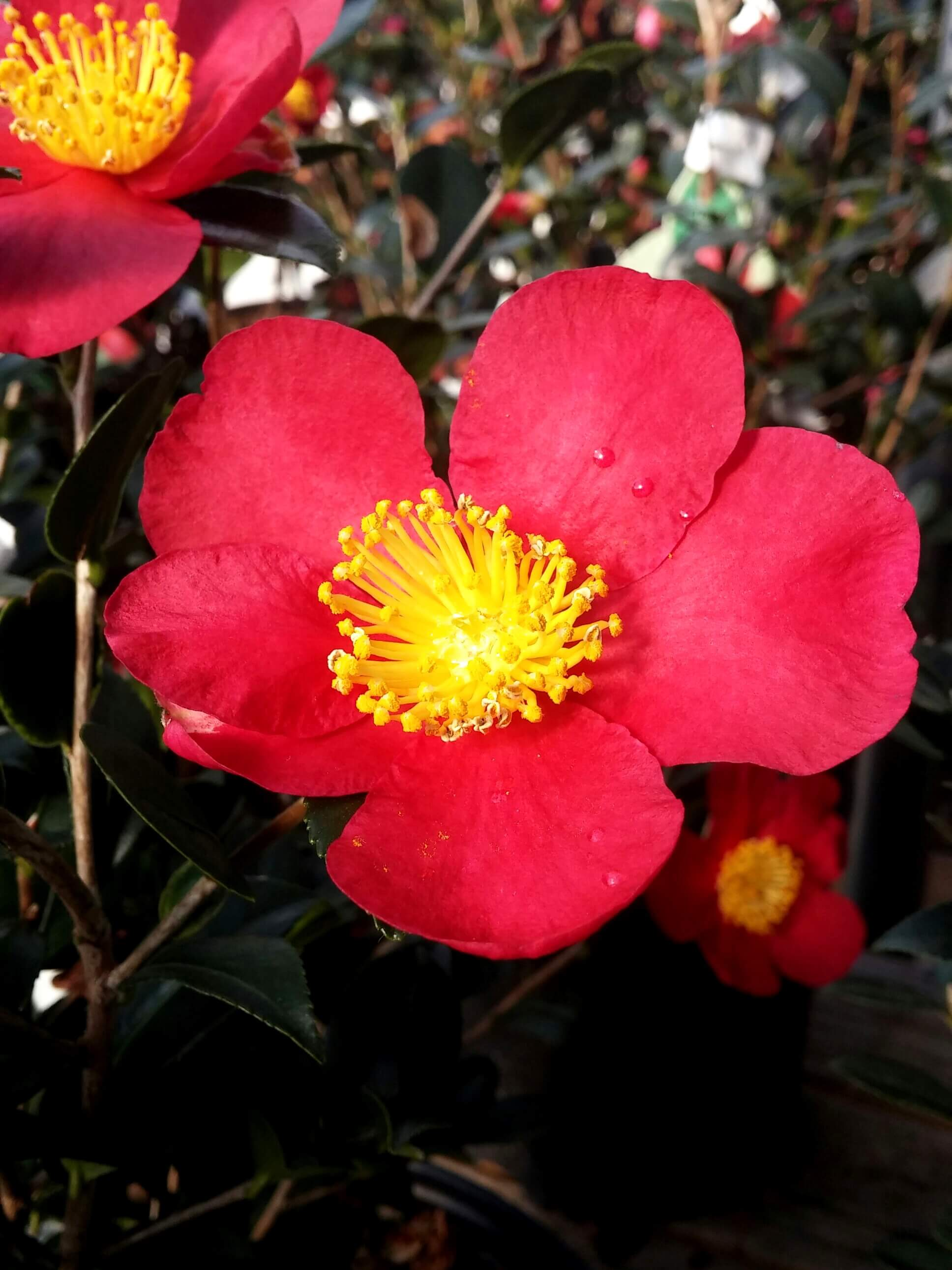 Camellias For Southern Yards