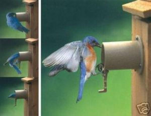 Did You Know It's Time To Put Up Bluebird Houses?