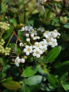 Great new plant varieties have arrived 2 feet tall x 4 5 feet wide stays small and neat with glossy green leaves and burgundy stems clusters of white flowers bloom in spring mightylinksfo Image collections