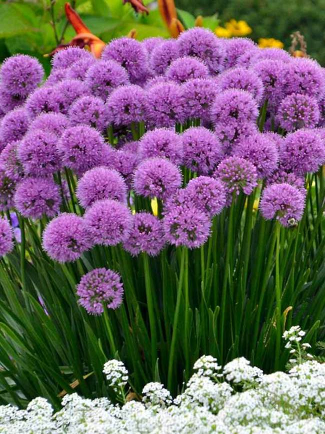 Allium 'Millinium' 2018 Perennial Of The Year