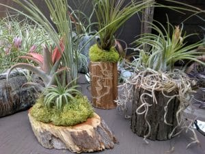 Caring For Air Plants