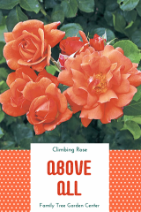 Above All Climbing Rose