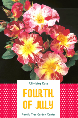 Fourth of July Climbing Rose