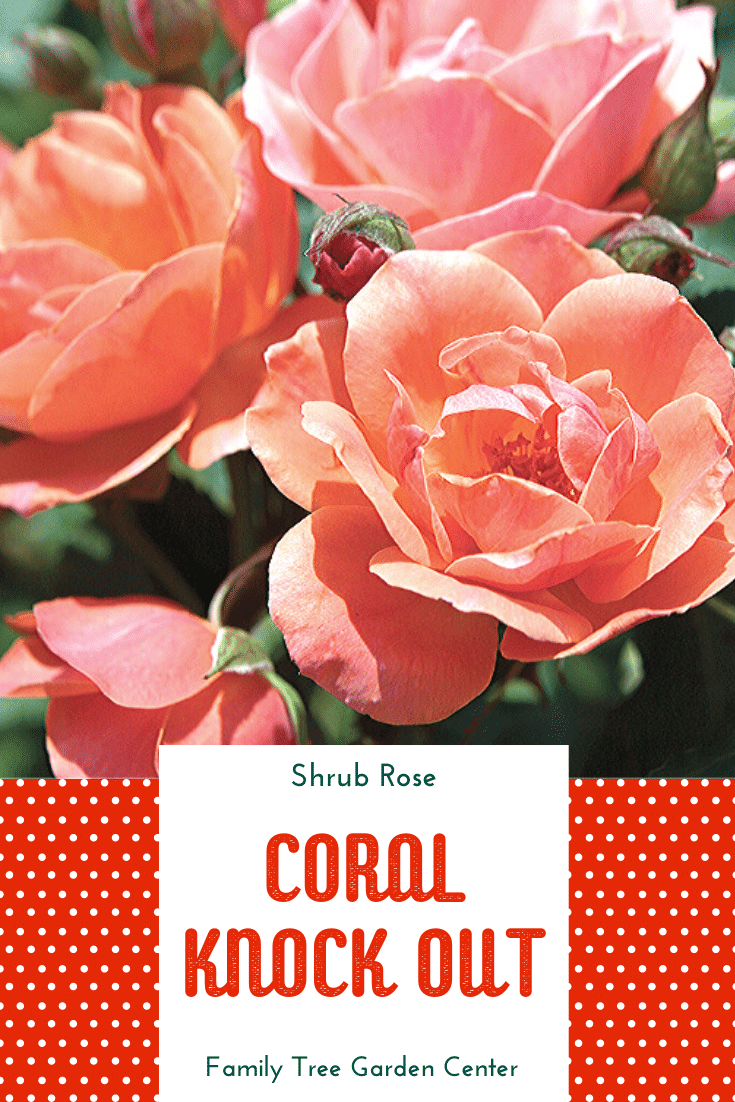 Coral Knock Out Shrub Rose