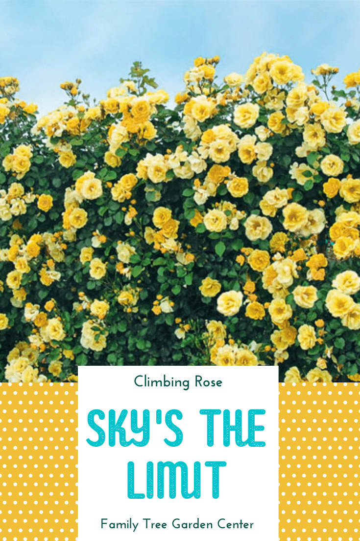 Sky's The Limit Climbing Rose