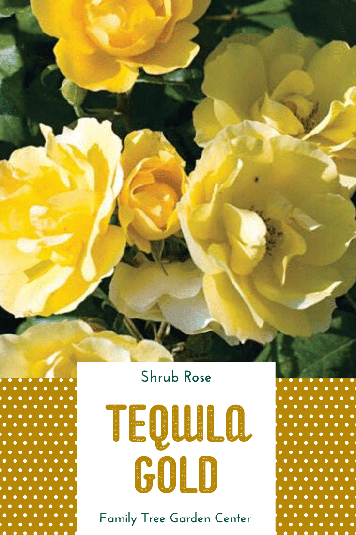 Tequila Gold Shrub Rose